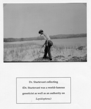 Dr. Alfred H. Sturtevant collecting